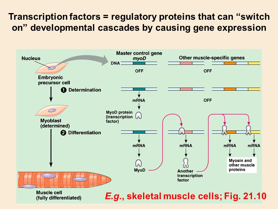 Transcription factors = regulatory proteins that can switch on developmental cascades by causing gene expression