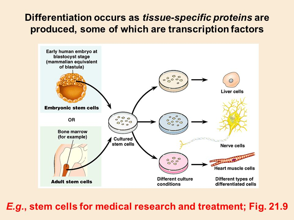 E.g., stem cells for medical research and treatment; Fig. 21.9