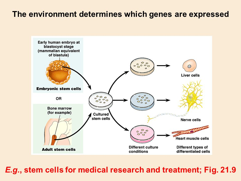 The environment determines which genes are expressed
