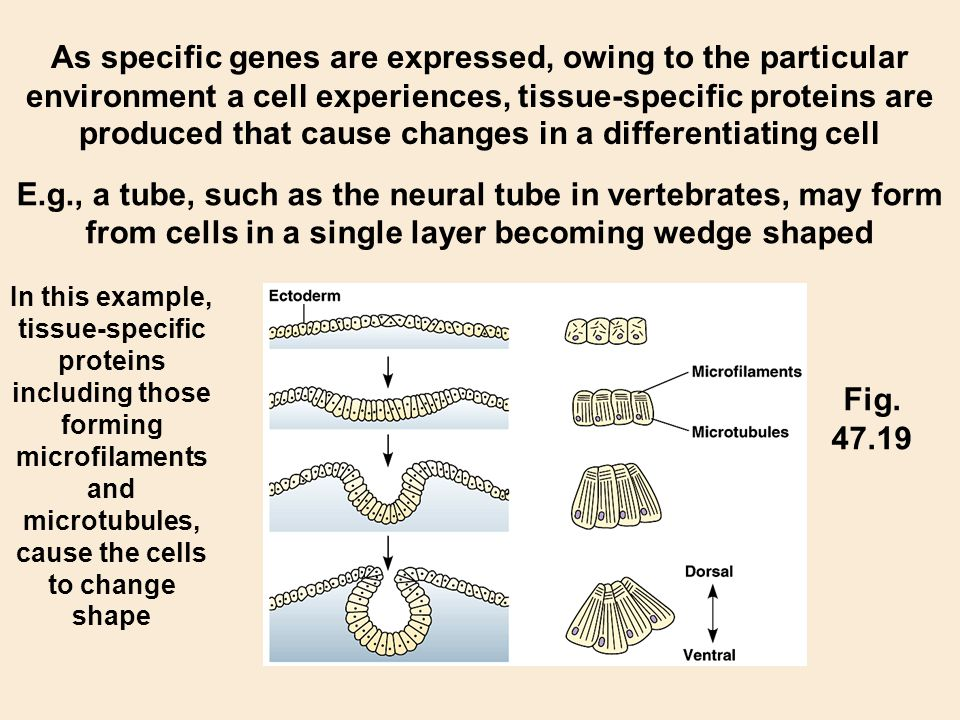 As specific genes are expressed, owing to the particular environment a cell experiences, tissue-specific proteins are produced that cause changes in a differentiating cell