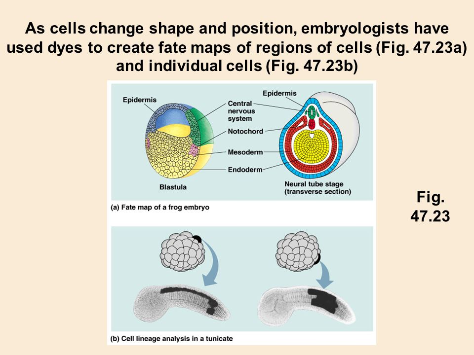As cells change shape and position, embryologists have used dyes to create fate maps of regions of cells (Fig. 47.23a) and individual cells (Fig. 47.23b)