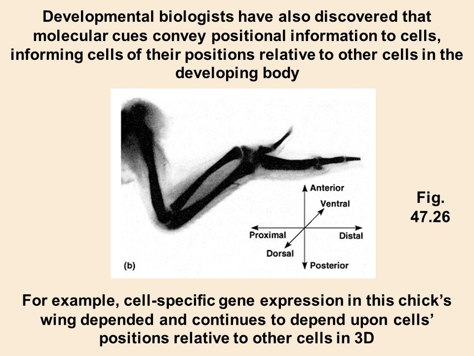 Developmental biologists have also discovered that molecular cues convey positional information to cells, informing cells of their positions relative to other cells in the developing body