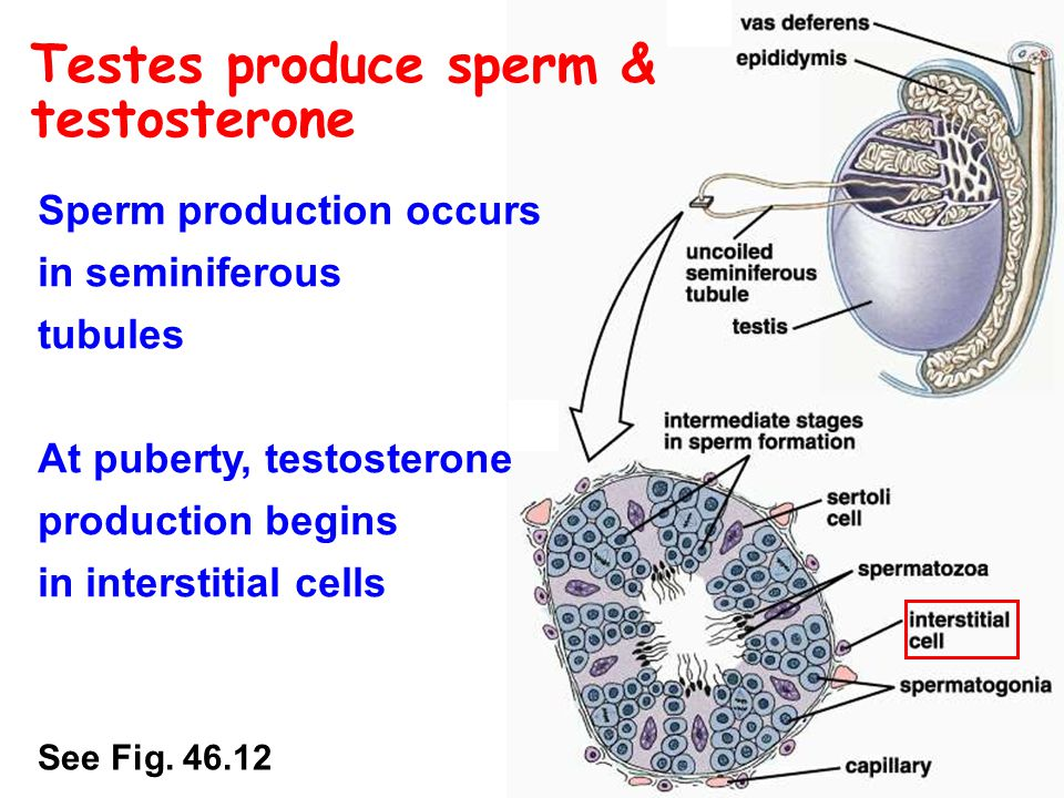 Production of sperm cell