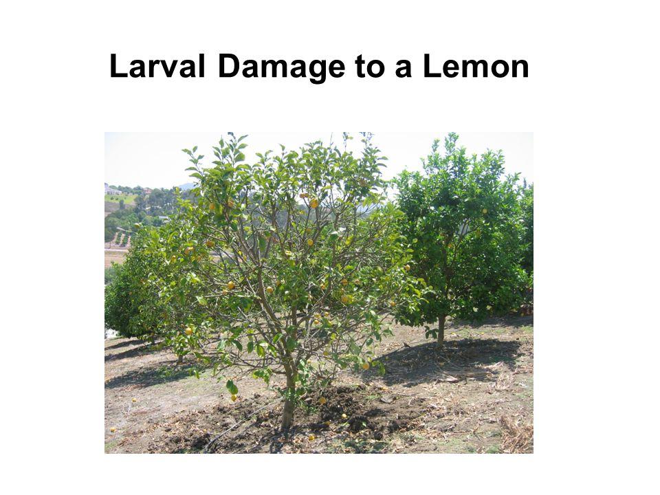 Larval Damage to a Lemon