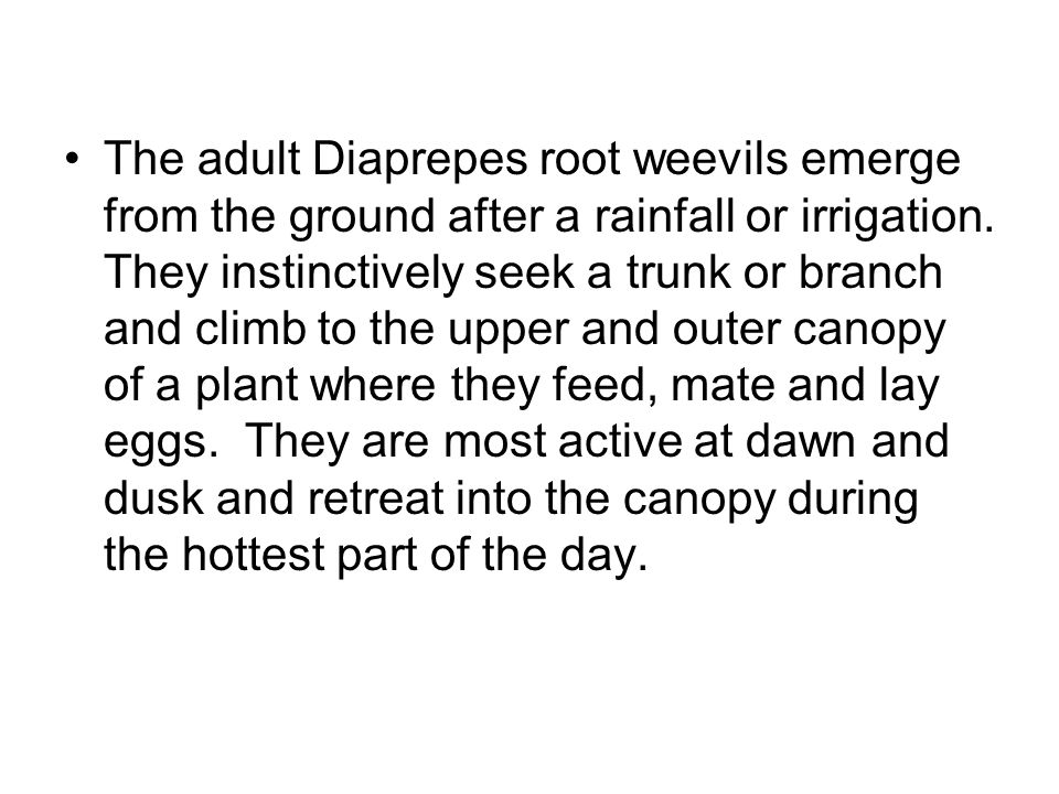 The adult Diaprepes root weevils emerge from the ground after a rainfall or irrigation.