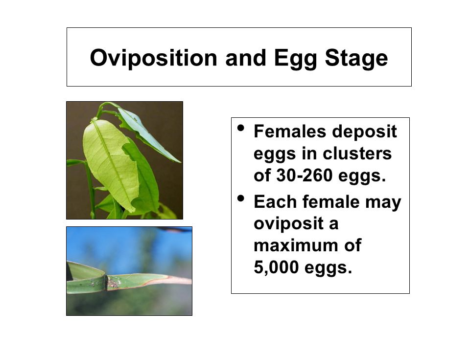 Oviposition and Egg Stage