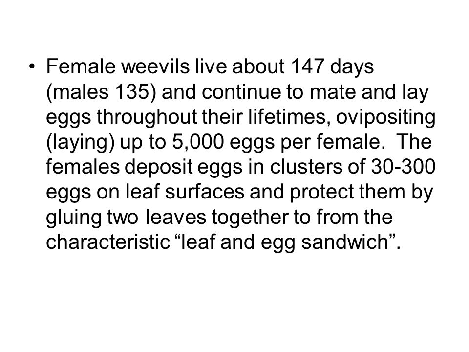 Female weevils live about 147 days (males 135) and continue to mate and lay eggs throughout their lifetimes, ovipositing (laying) up to 5,000 eggs per female.