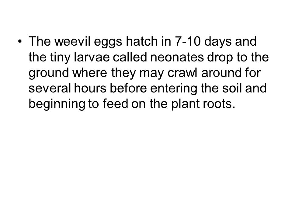 The weevil eggs hatch in 7-10 days and the tiny larvae called neonates drop to the ground where they may crawl around for several hours before entering the soil and beginning to feed on the plant roots.