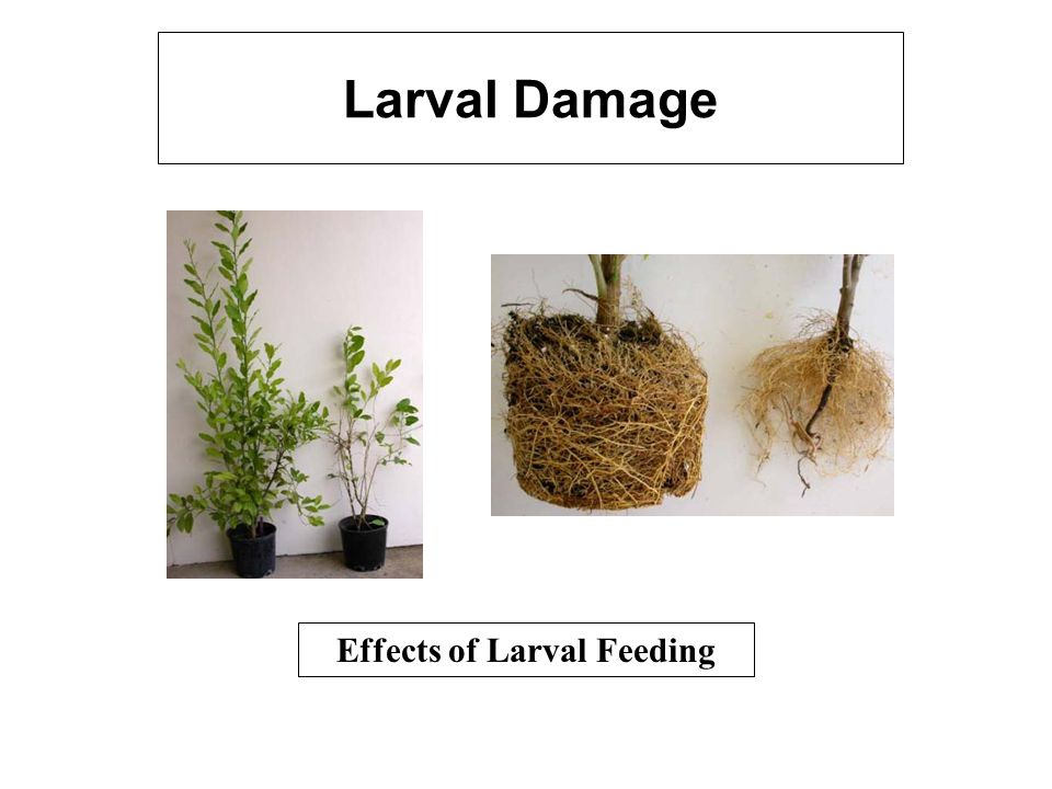 Effects of Larval Feeding