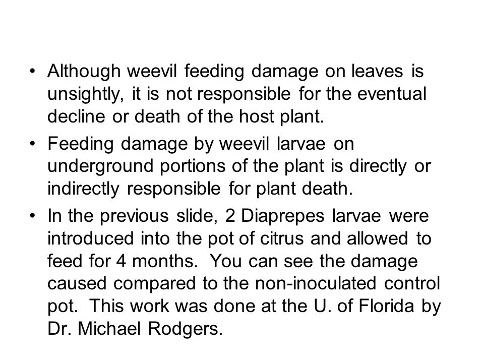 Although weevil feeding damage on leaves is unsightly, it is not responsible for the eventual decline or death of the host plant.