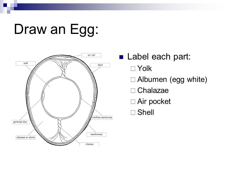Draw an Egg: Label each part: Yolk Albumen (egg white) Chalazae