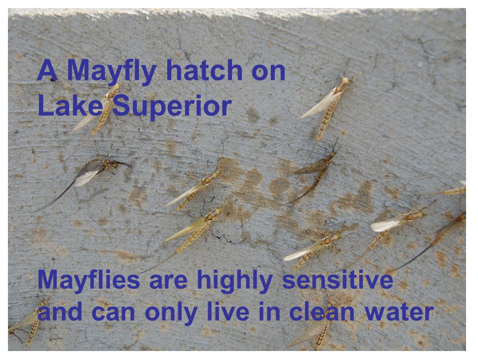 A Mayfly hatch on Lake Superior Mayflies are highly sensitive and can only live in clean water