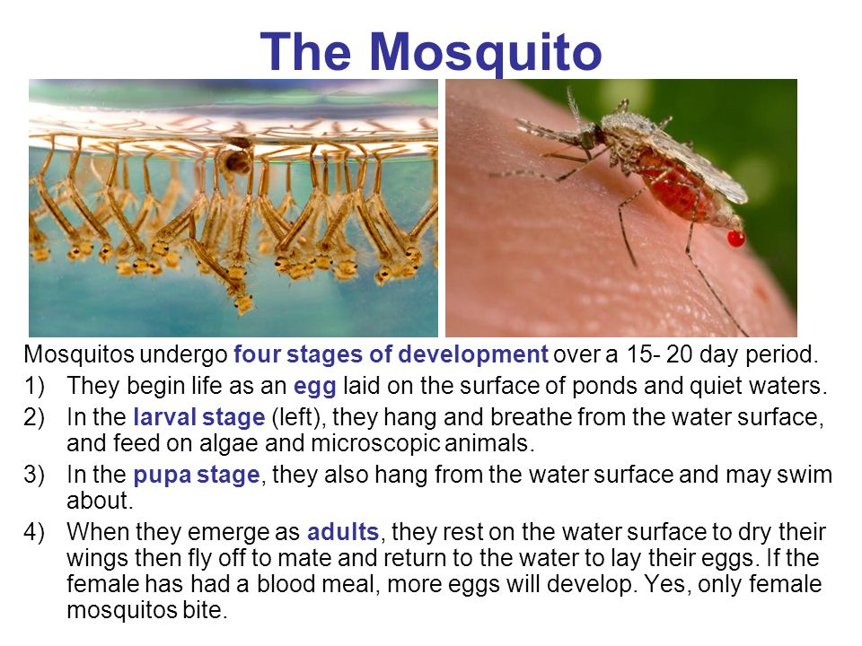 The Mosquito Mosquitos undergo four stages of development over a 15- 20 day period.