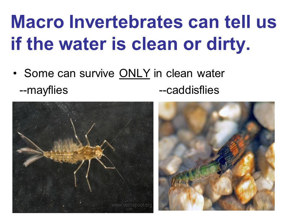 Macro Invertebrates can tell us if the water is clean or dirty.