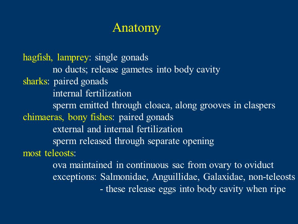 Anatomy hagfish, lamprey: single gonads