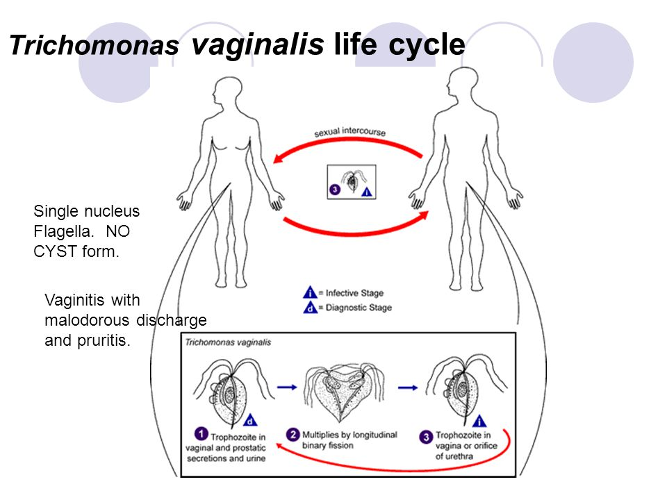 Trichomonas vaginalis life cycle