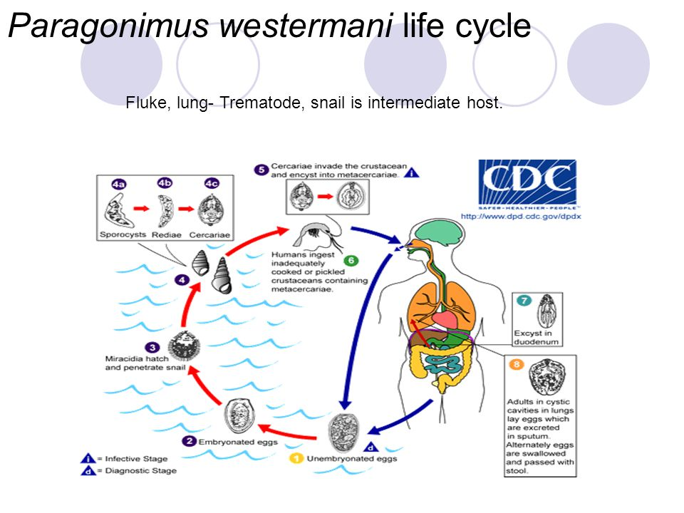 Paragonimus westermani life cycle