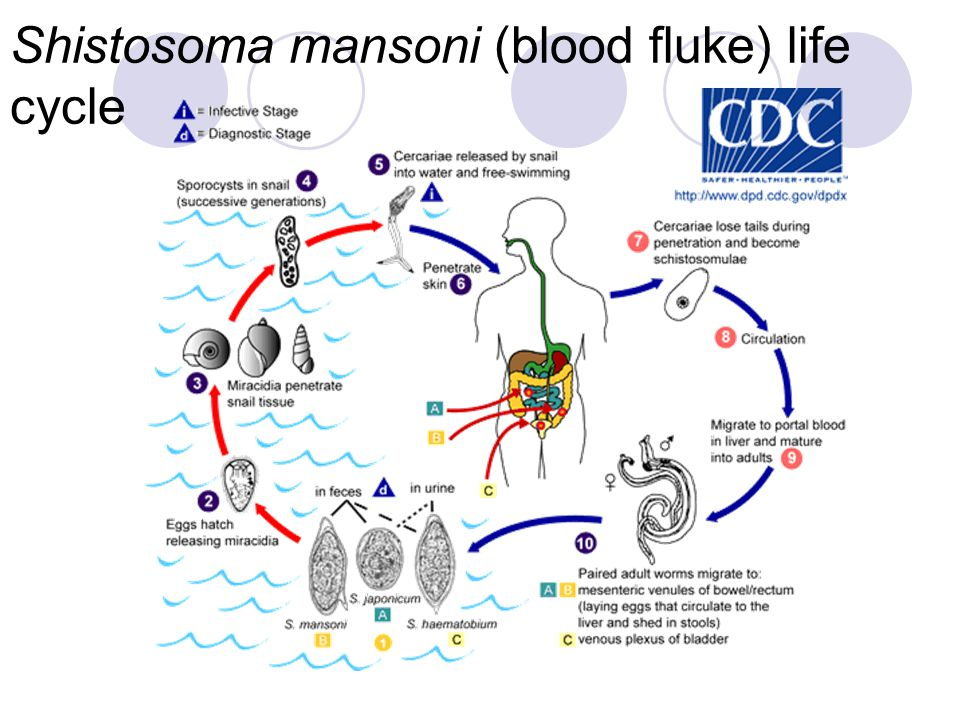 Shistosoma mansoni (blood fluke) life cycle