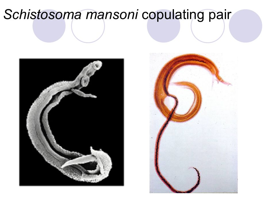 Schistosoma mansoni copulating pair