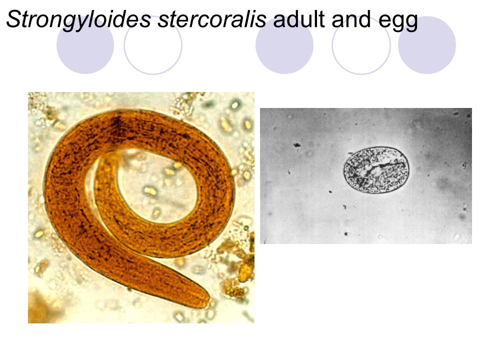Strongyloides stercoralis adult and egg