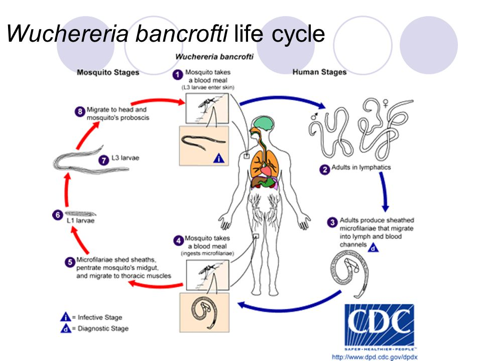 Wuchereria bancrofti life cycle