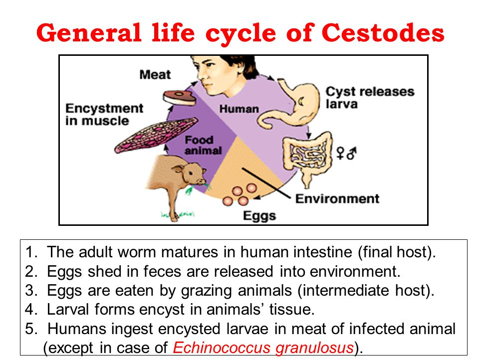 General life cycle of Cestodes