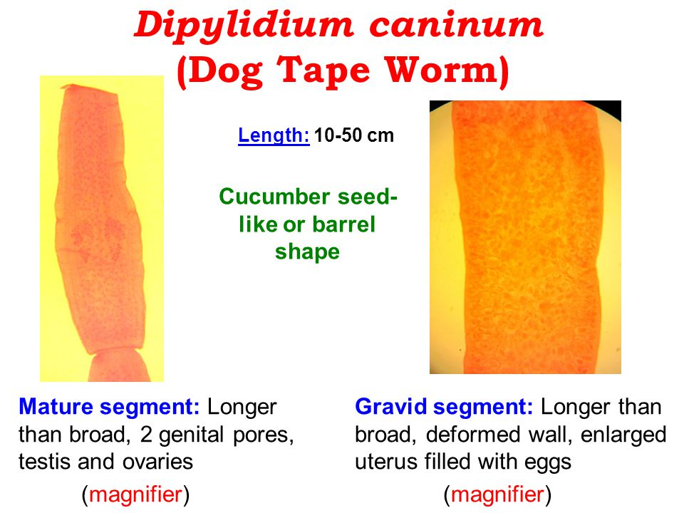 Dipylidium caninum (Dog Tape Worm)