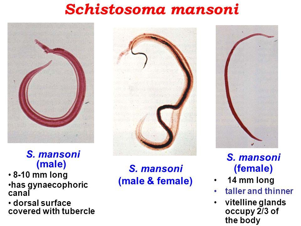 3- Blood Fluke Schistosoma sp. - ppt video online download