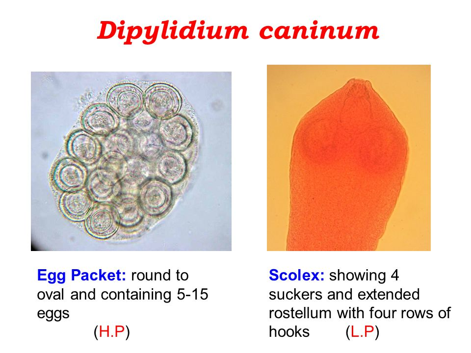 Dipylidium caninum Egg Packet: round to oval and containing 5-15 eggs