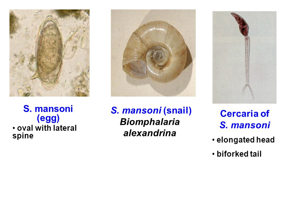 S. mansoni (snail) Biomphalaria alexandrina