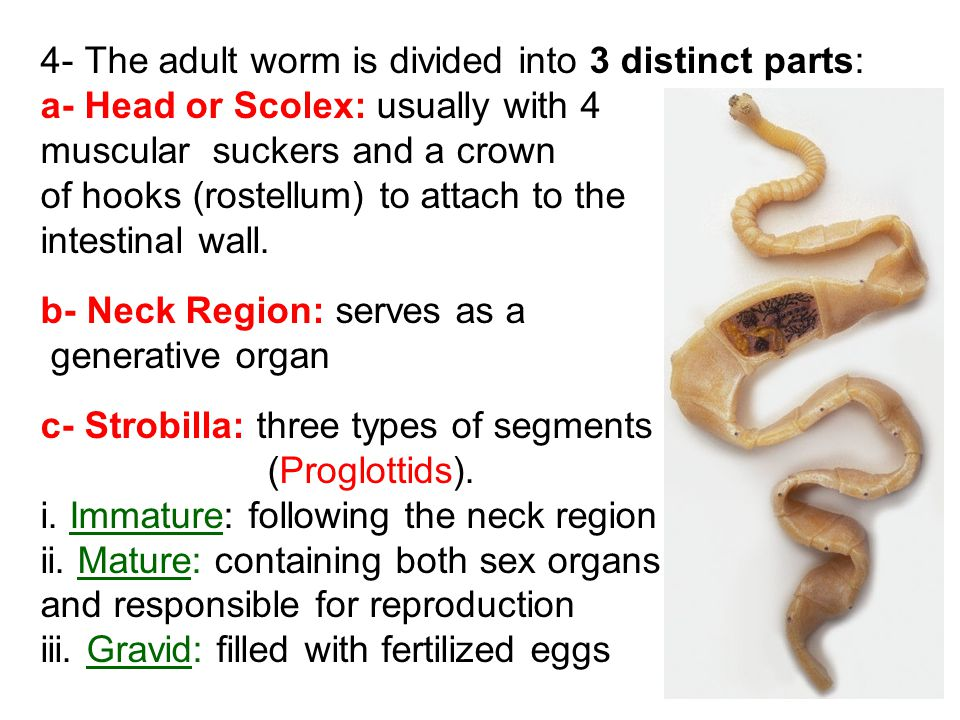 4- The adult worm is divided into 3 distinct parts: