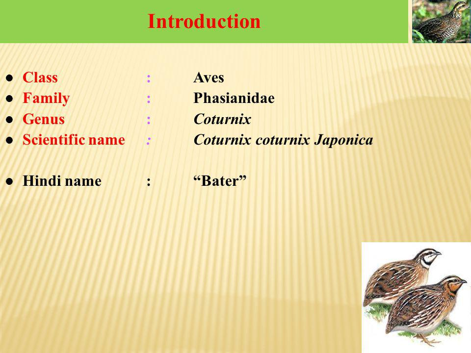Introduction Class : Aves Family : Phasianidae Genus : Coturnix