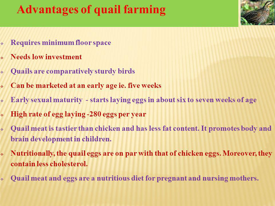 Advantages of quail farming