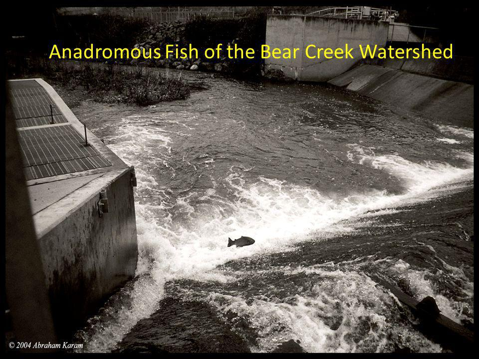 Anadromous Fish of the Bear Creek Watershed
