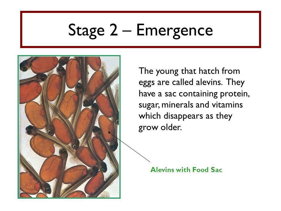 Stage 2 – Emergence