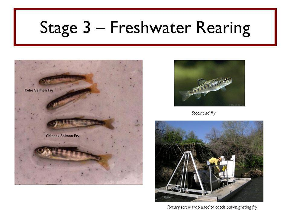 Stage 3 – Freshwater Rearing