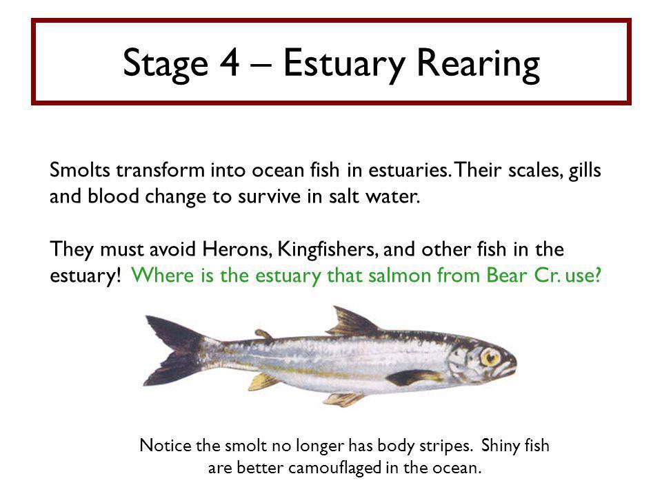 Stage 4 – Estuary Rearing