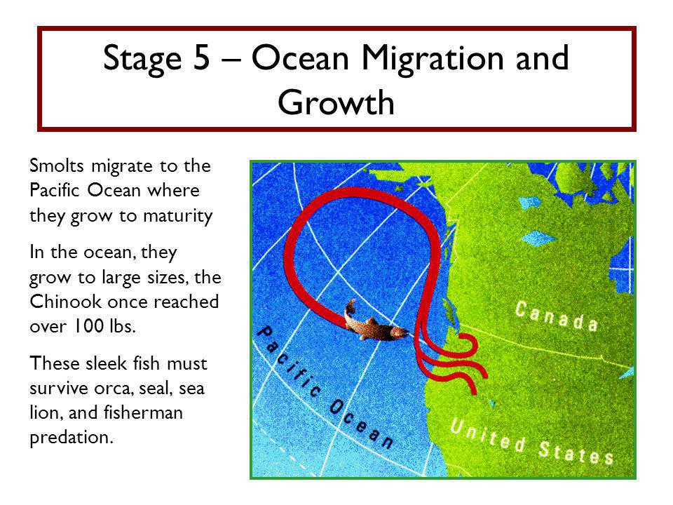 Stage 5 – Ocean Migration and Growth