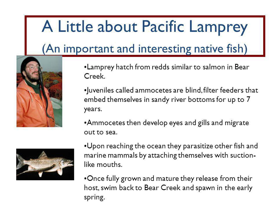 A Little about Pacific Lamprey