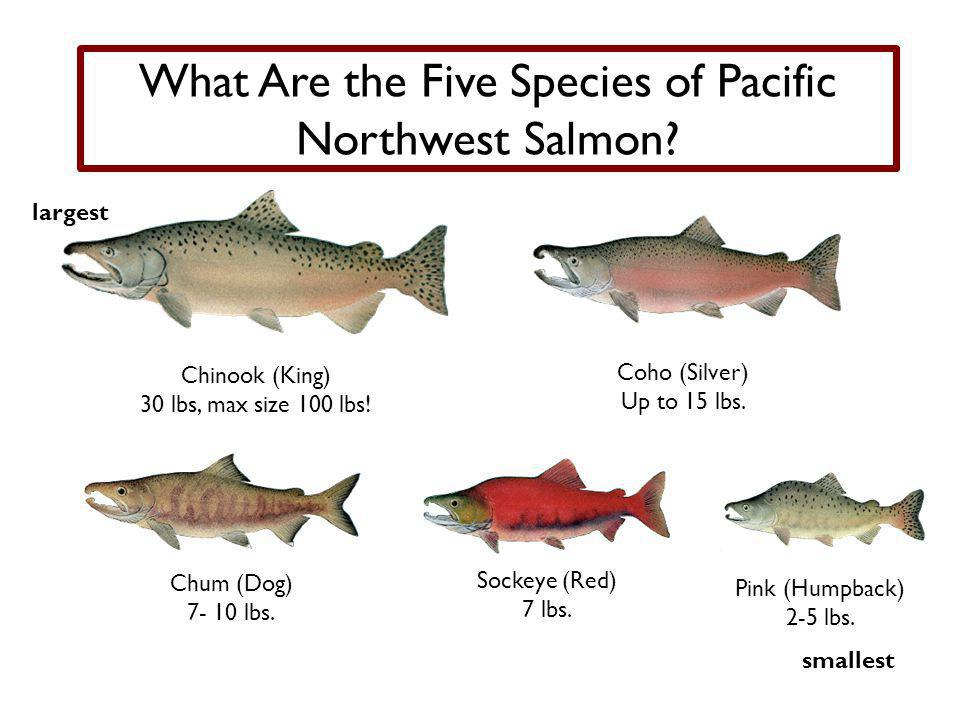 What Are the Five Species of Pacific Northwest Salmon