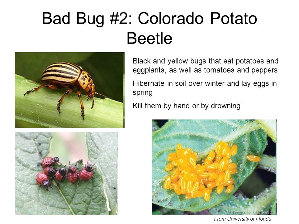 Bad Bug #2: Colorado Potato Beetle