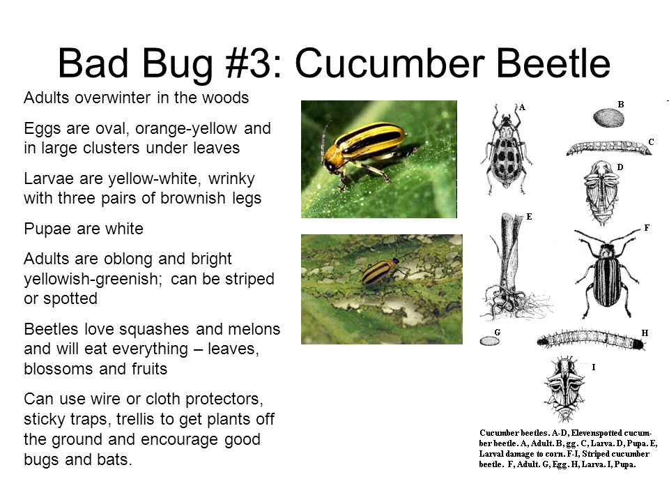 Bad Bug #3: Cucumber Beetle