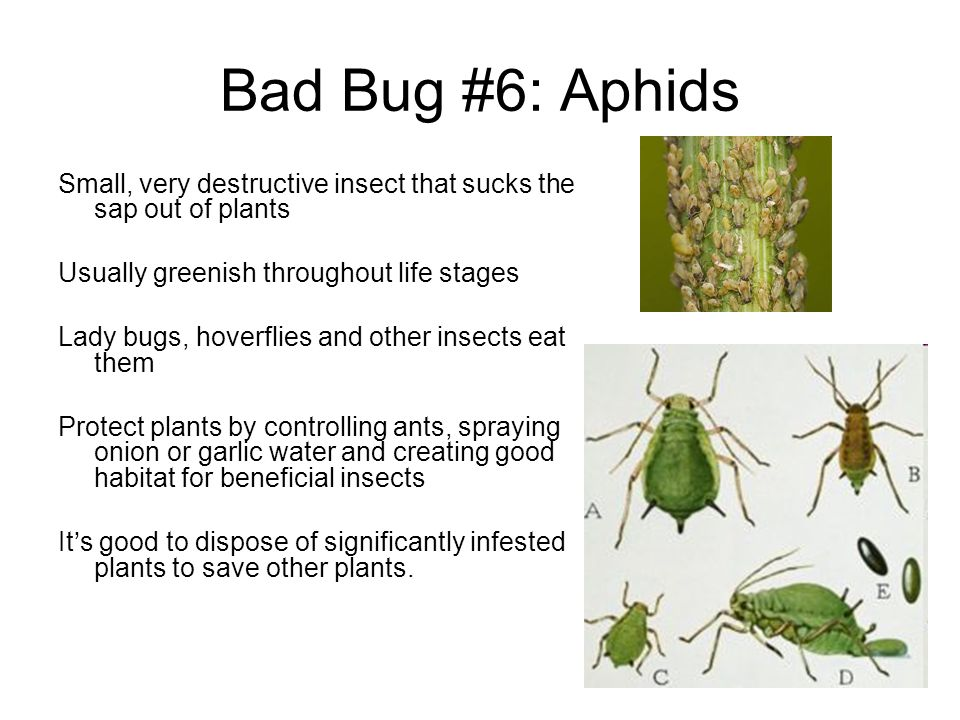 Bad Bug #6: Aphids Small, very destructive insect that sucks the sap out of plants. Usually greenish throughout life stages.