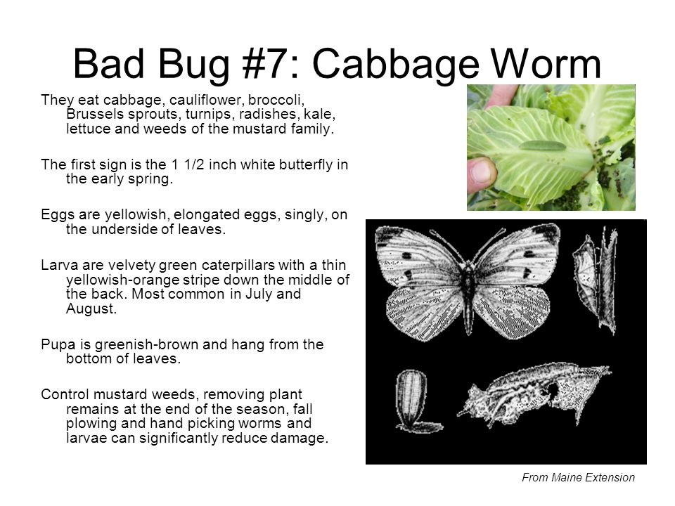 Bad Bug #7: Cabbage Worm They eat cabbage, cauliflower, broccoli, Brussels sprouts, turnips, radishes, kale, lettuce and weeds of the mustard family.