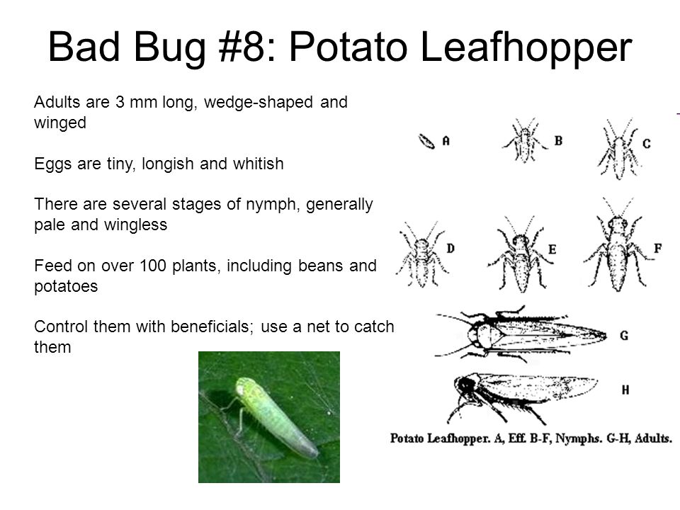 Bad Bug #8: Potato Leafhopper