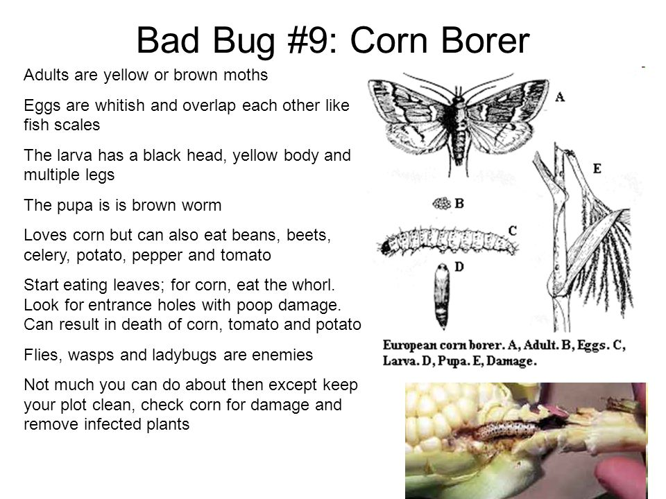 Bad Bug #9: Corn Borer Adults are yellow or brown moths