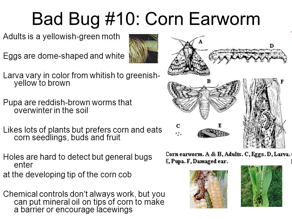 Bad Bug #10: Corn Earworm Adults is a yellowish-green moth