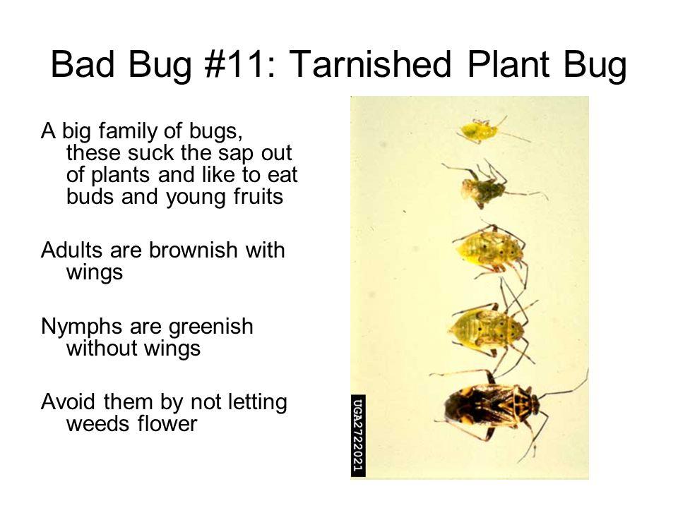 Bad Bug #11: Tarnished Plant Bug