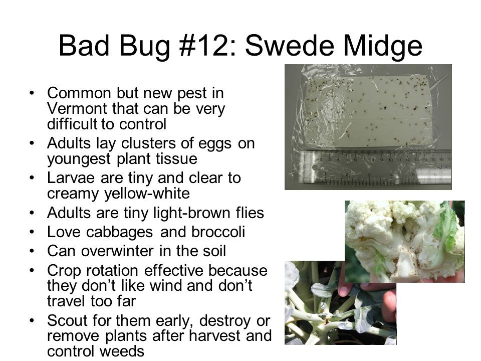 Bad Bug #12: Swede Midge Common but new pest in Vermont that can be very difficult to control. Adults lay clusters of eggs on youngest plant tissue.