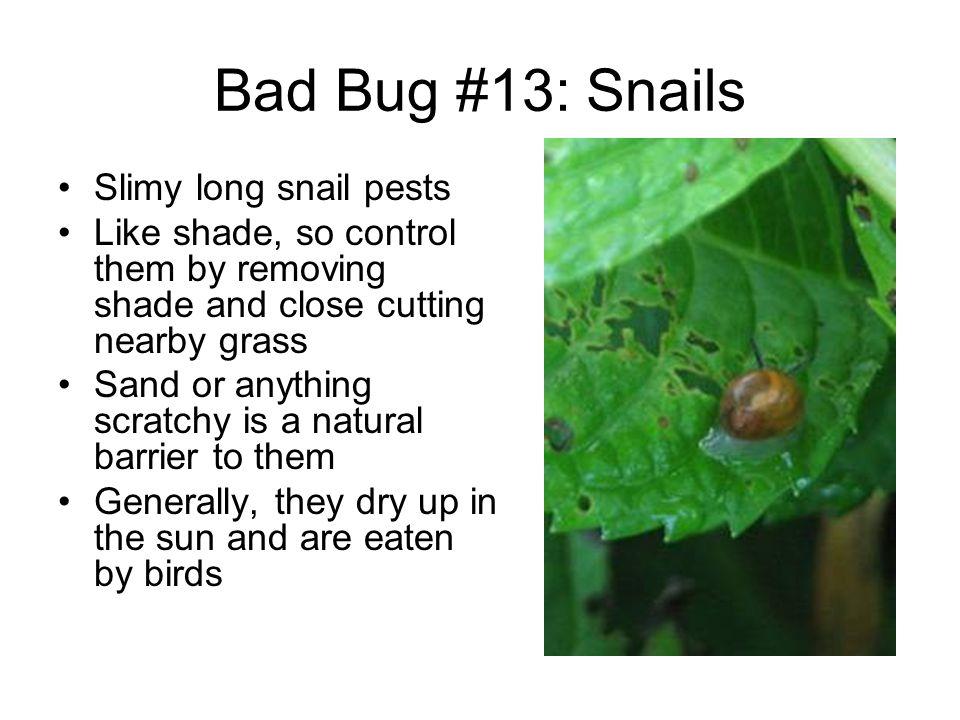 Bad Bug #13: Snails Slimy long snail pests